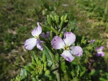 紫大根の花