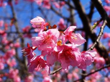 伊豆高原の河津桜