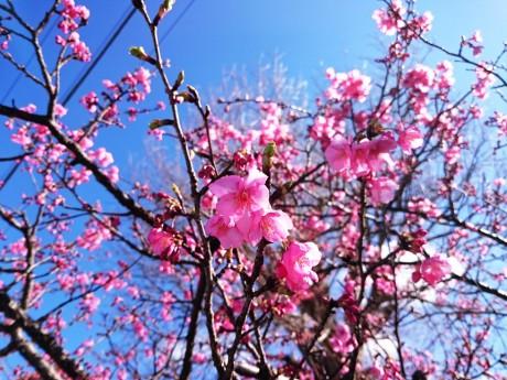 見ごろになった河津桜