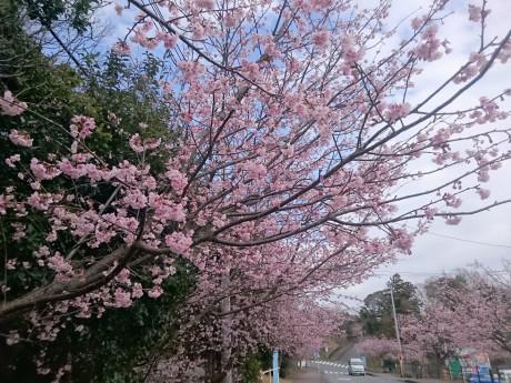 伊豆高原駅の大寒桜