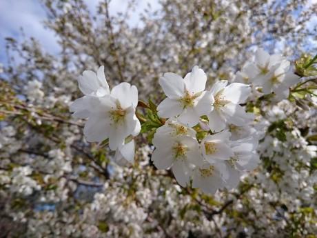 大島桜の花