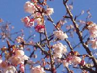 さくらの里の寒桜