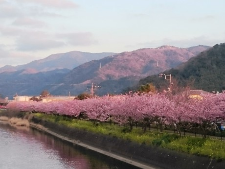 河津川沿いの河津桜