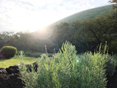 朝日に輝くラベンダー