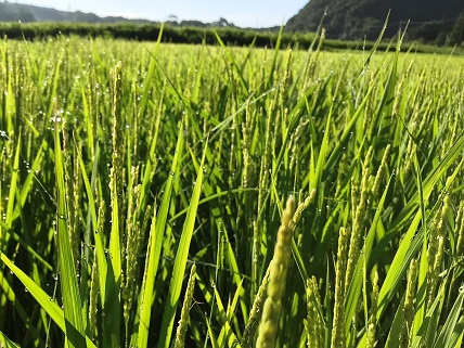 稲についた朝露