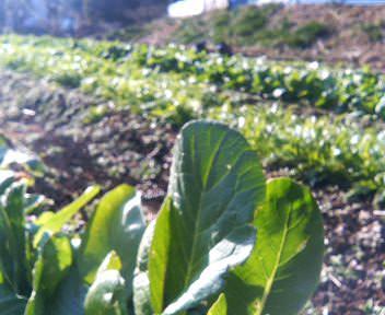 冬の小松菜