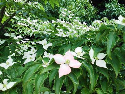 中庭のヤマボウシ