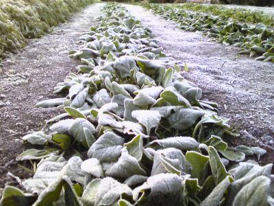 霜にあたった野菜