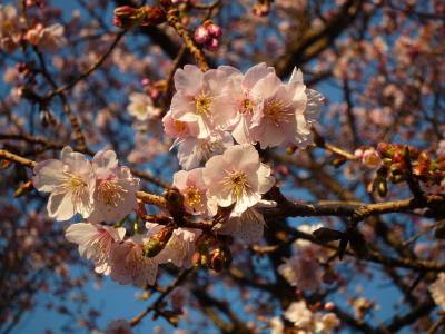 城ヶ崎桜の花